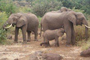 Tanzania-elephant-baby-nursing-300x201