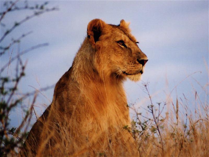 01 lion