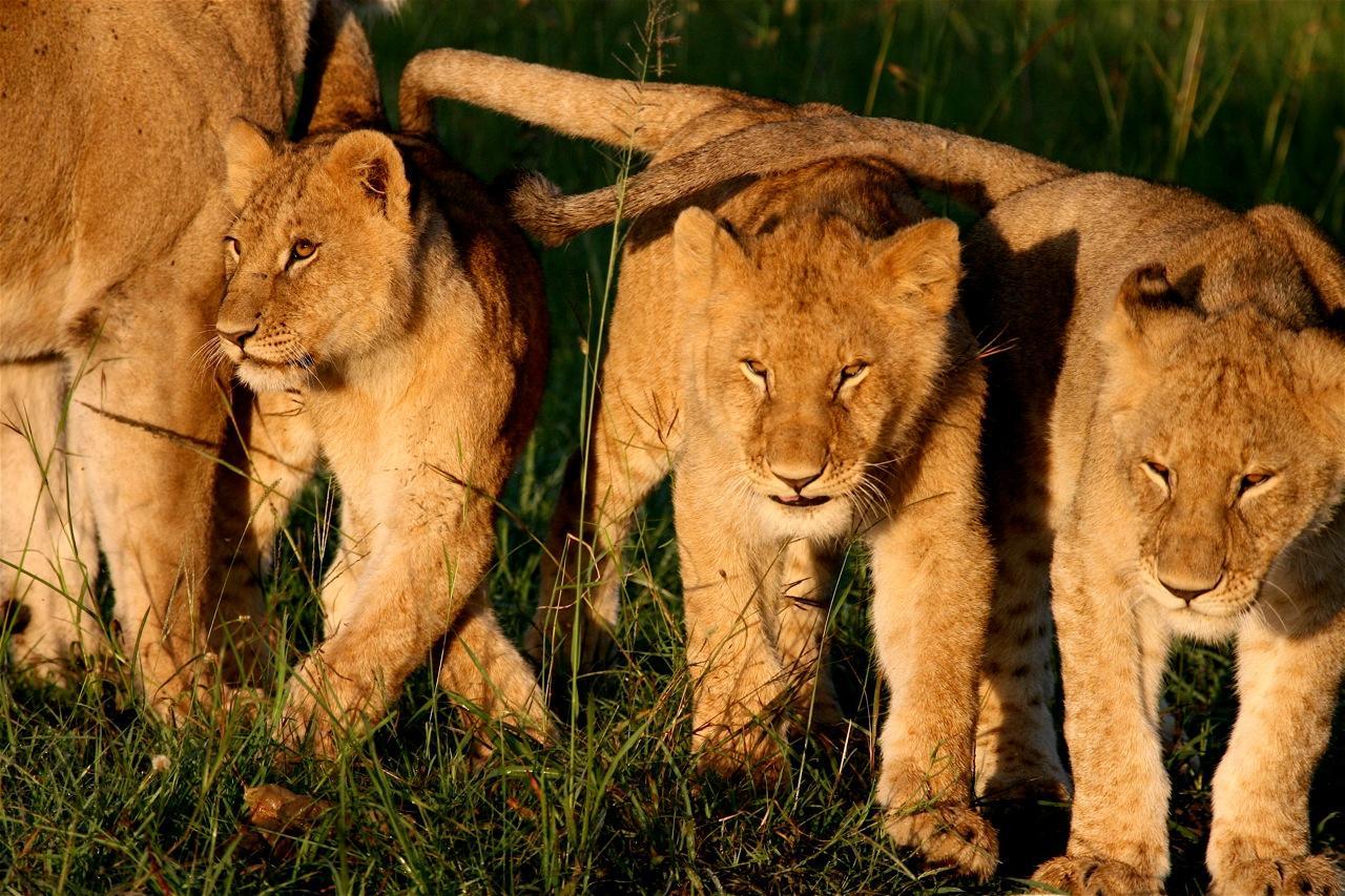 17 lion cubs