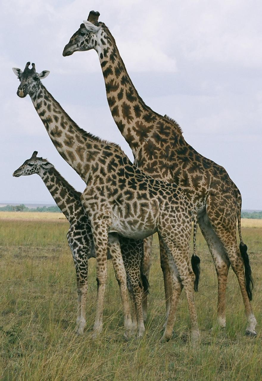 21 giraffes